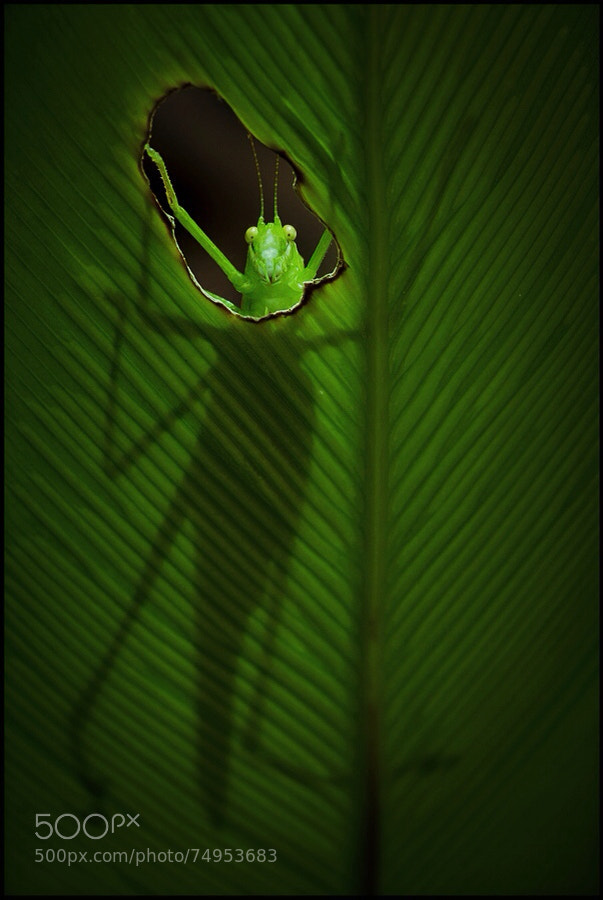 Photograph The Katydid Redux by Steve Passlow on 500px