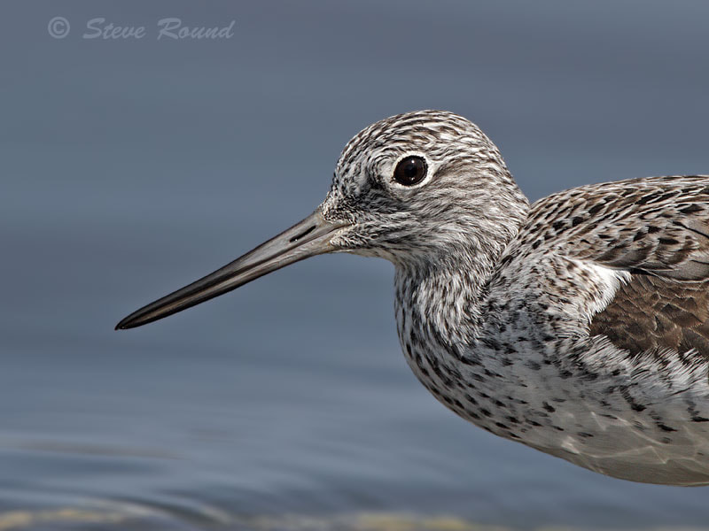 Photograph Greenshank up Close by Steve Round on 500px