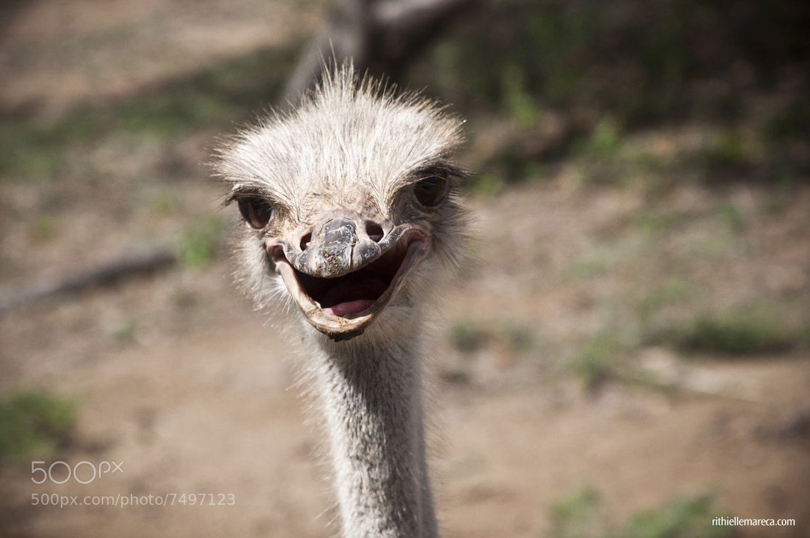 Photograph Ostrich by Rithielle Mareca on 500px