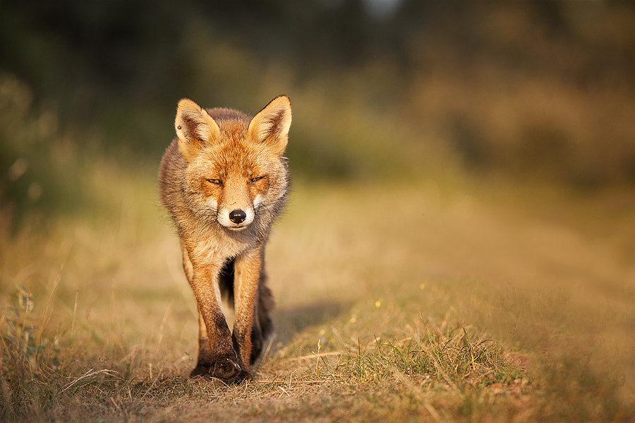 Fox by Dick van Duijn on 500px.com