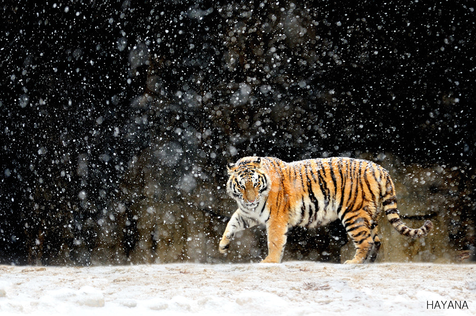 Photograph Winter Siberian tiger by Ryu Jong soung on 500px