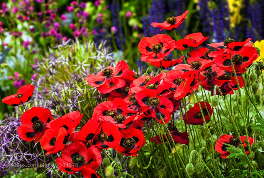 Photograph Poppy Drift by Rory McDonald on 500px