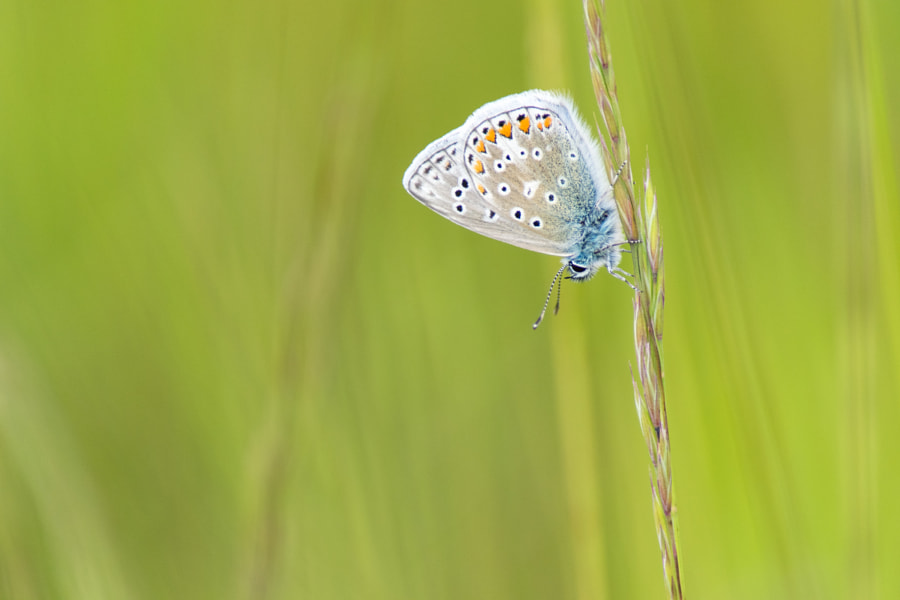 Common Blue by Lee Adcock on 500px.com