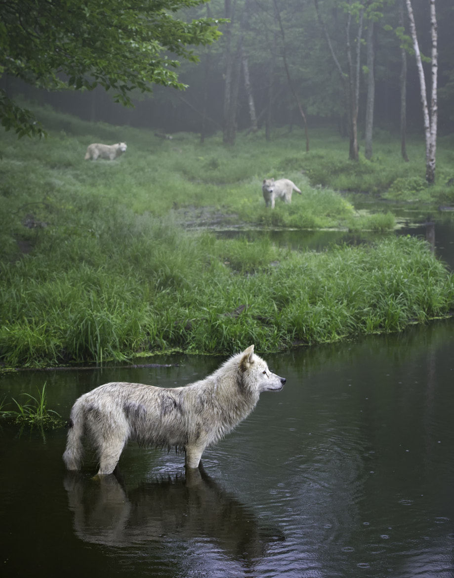 Photograph Three weary wolves by Daniel Parent on 500px