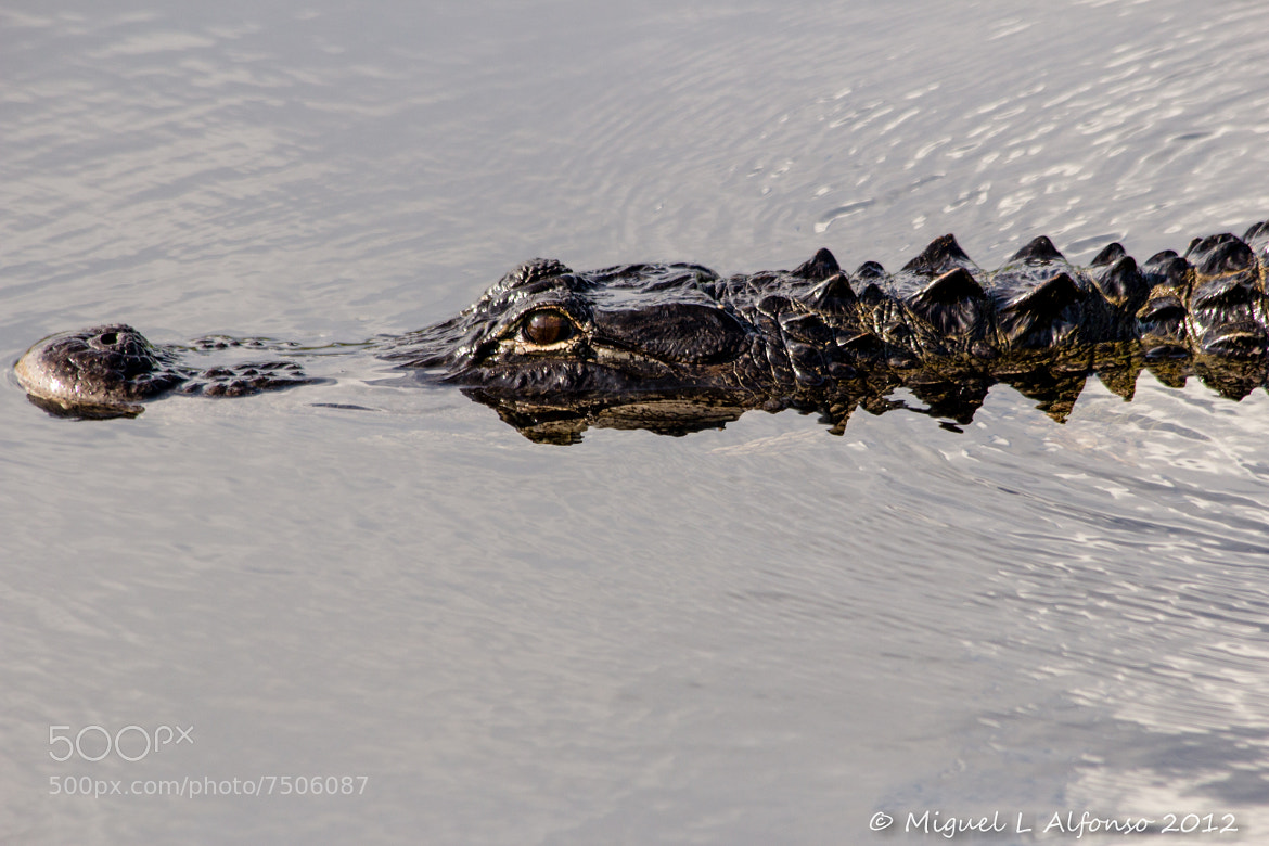 Photograph Gator by Miguel Alfonso on 500px