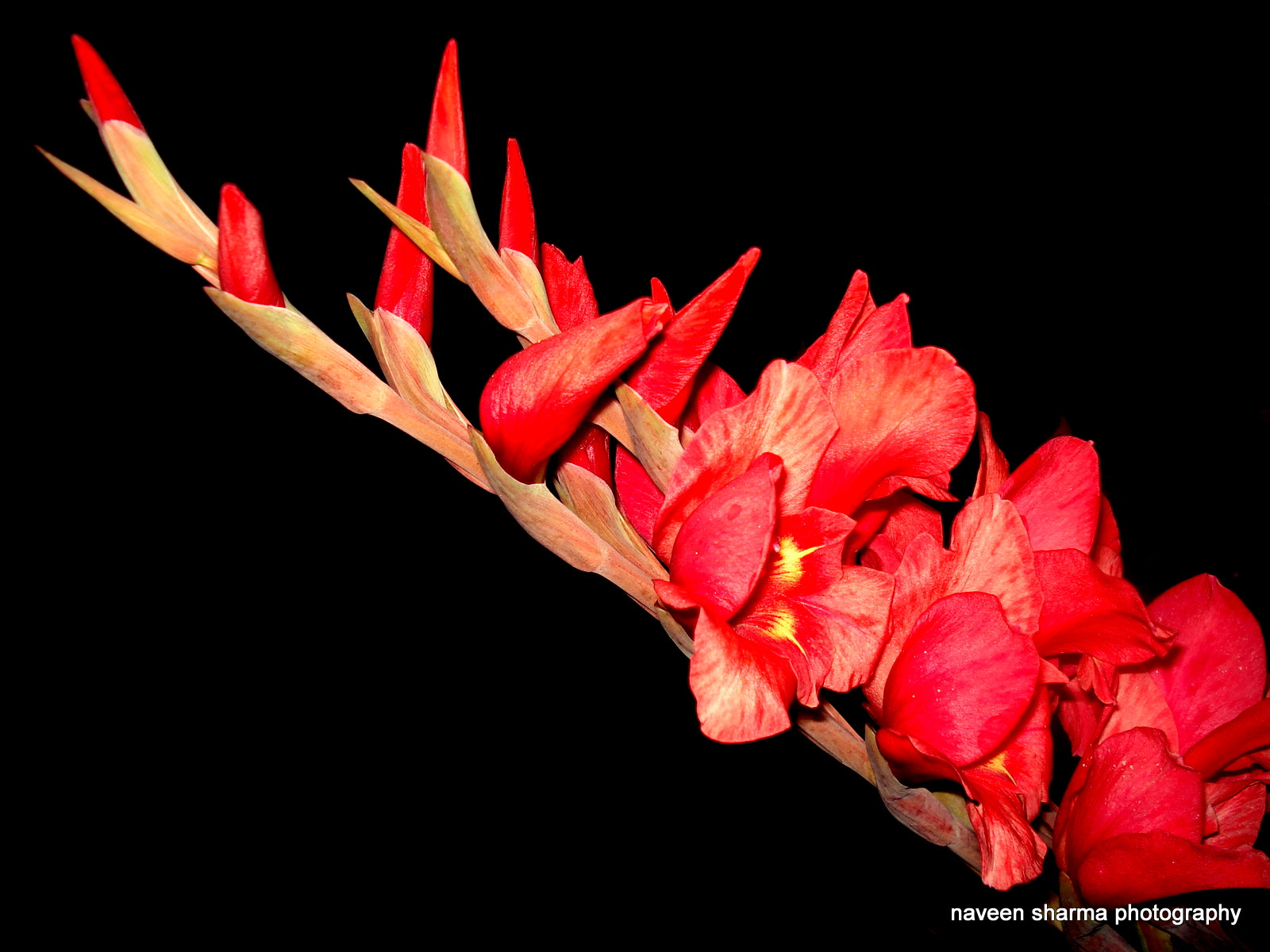 Photograph Bokey of Gladiolus by naveen sharma on 500px