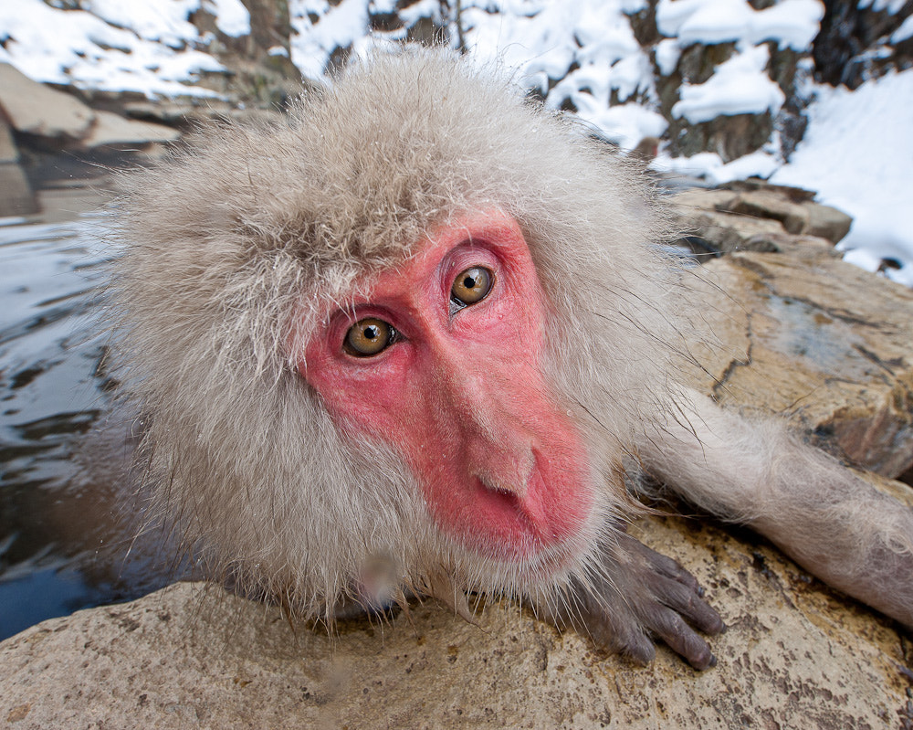 Photograph Snow Monkey by Thomas Knoll on 500px
