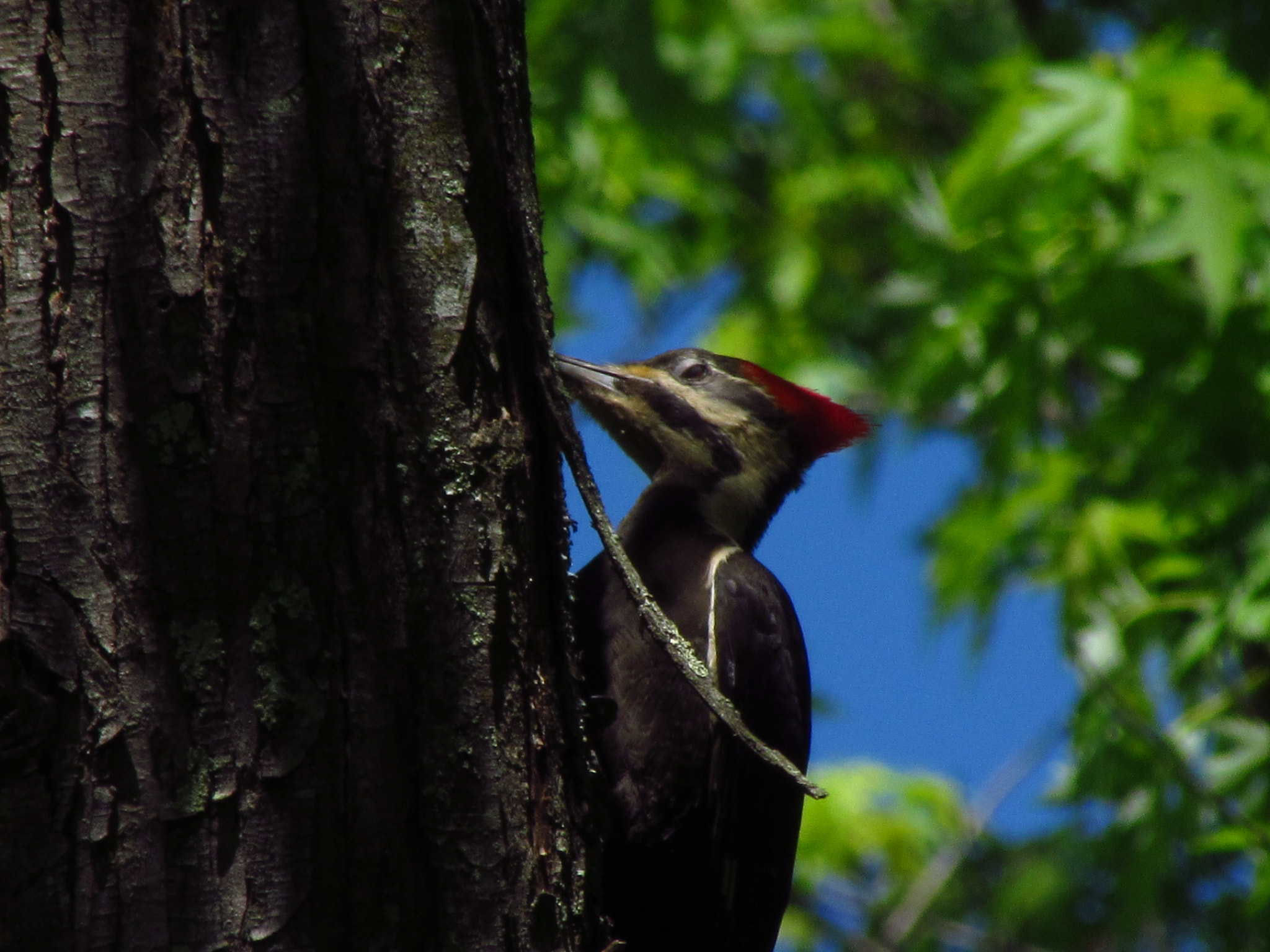 Photograph Pilated Woodpecker Up close... by Palmer Allen on 500px
