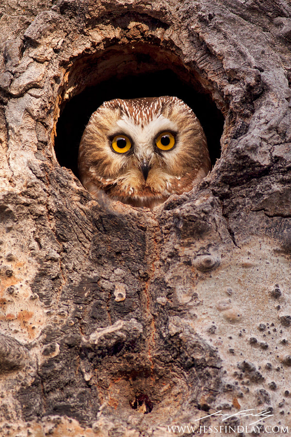 Photograph Northern Saw-whet Owl  by  Findlay on 500px