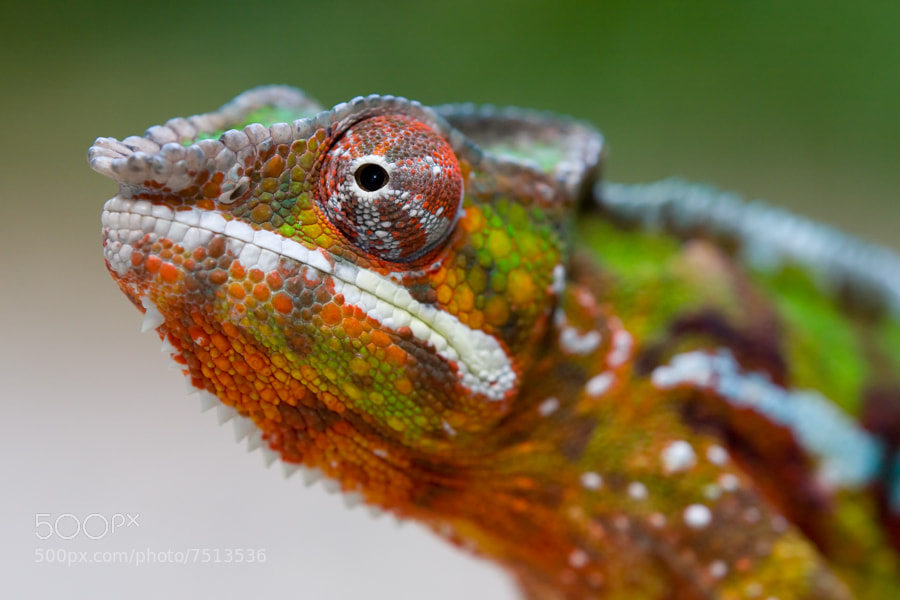 Photograph Chameleon by Bram Platel on 500px