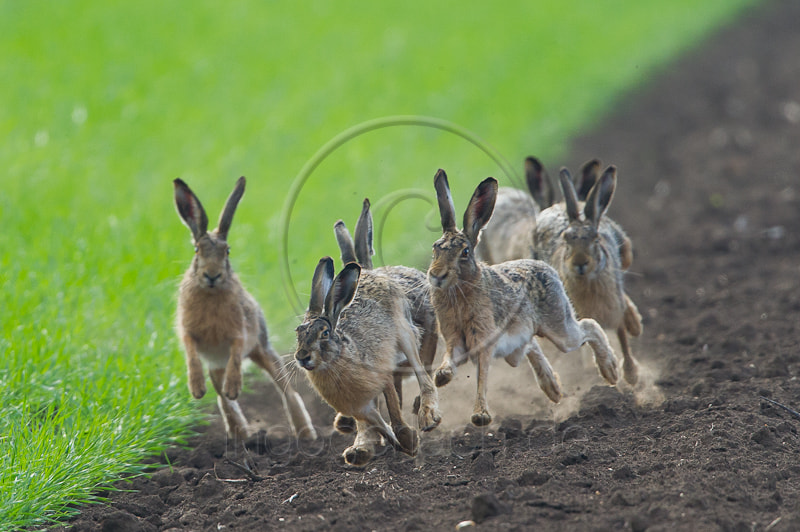 Photograph Running Hares by Ingo Gerlach on 500px