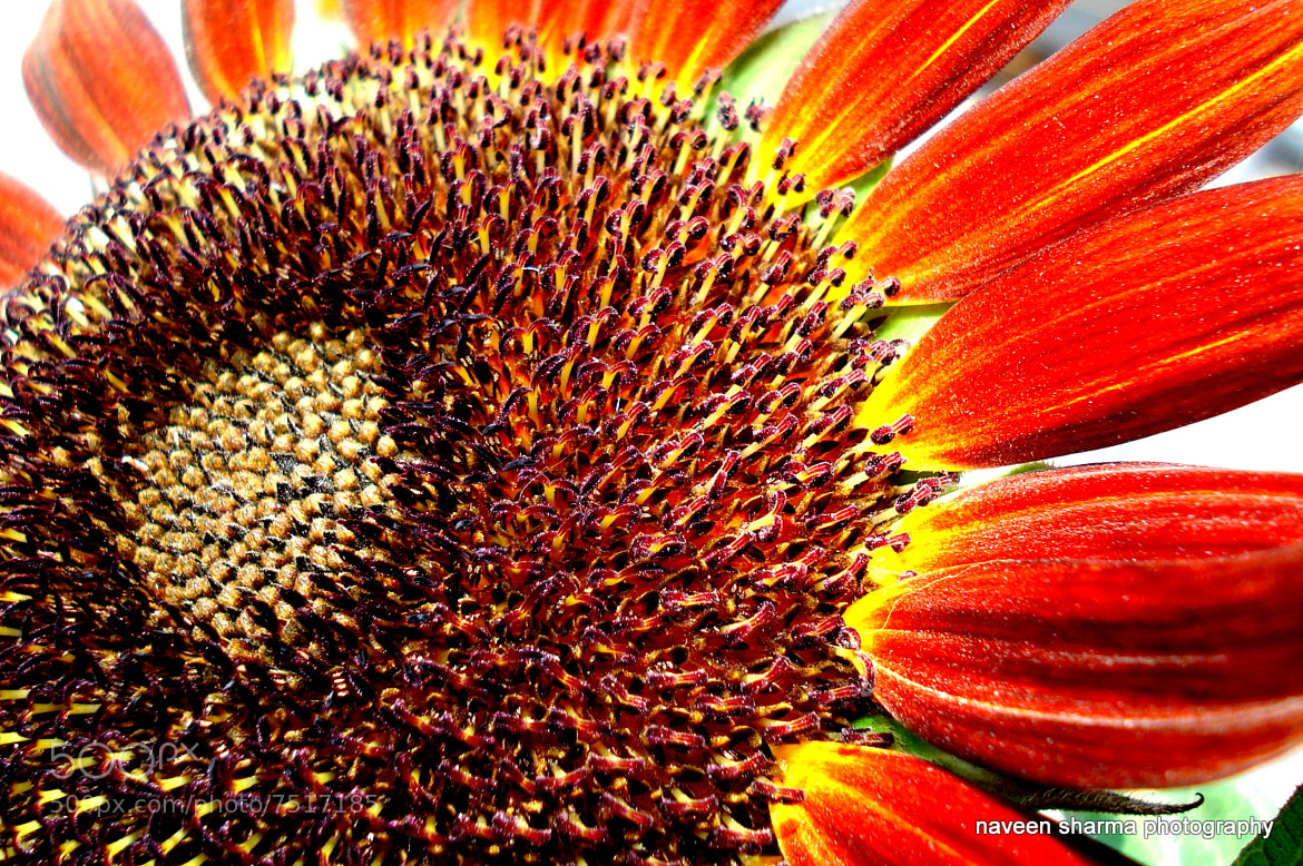 Photograph BLOOMING SUN FLOWER by naveen sharma on 500px