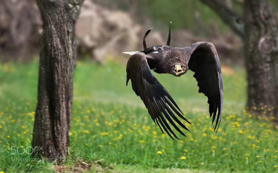 Photograph Eagle by Jaroslava Melicharová on 500px