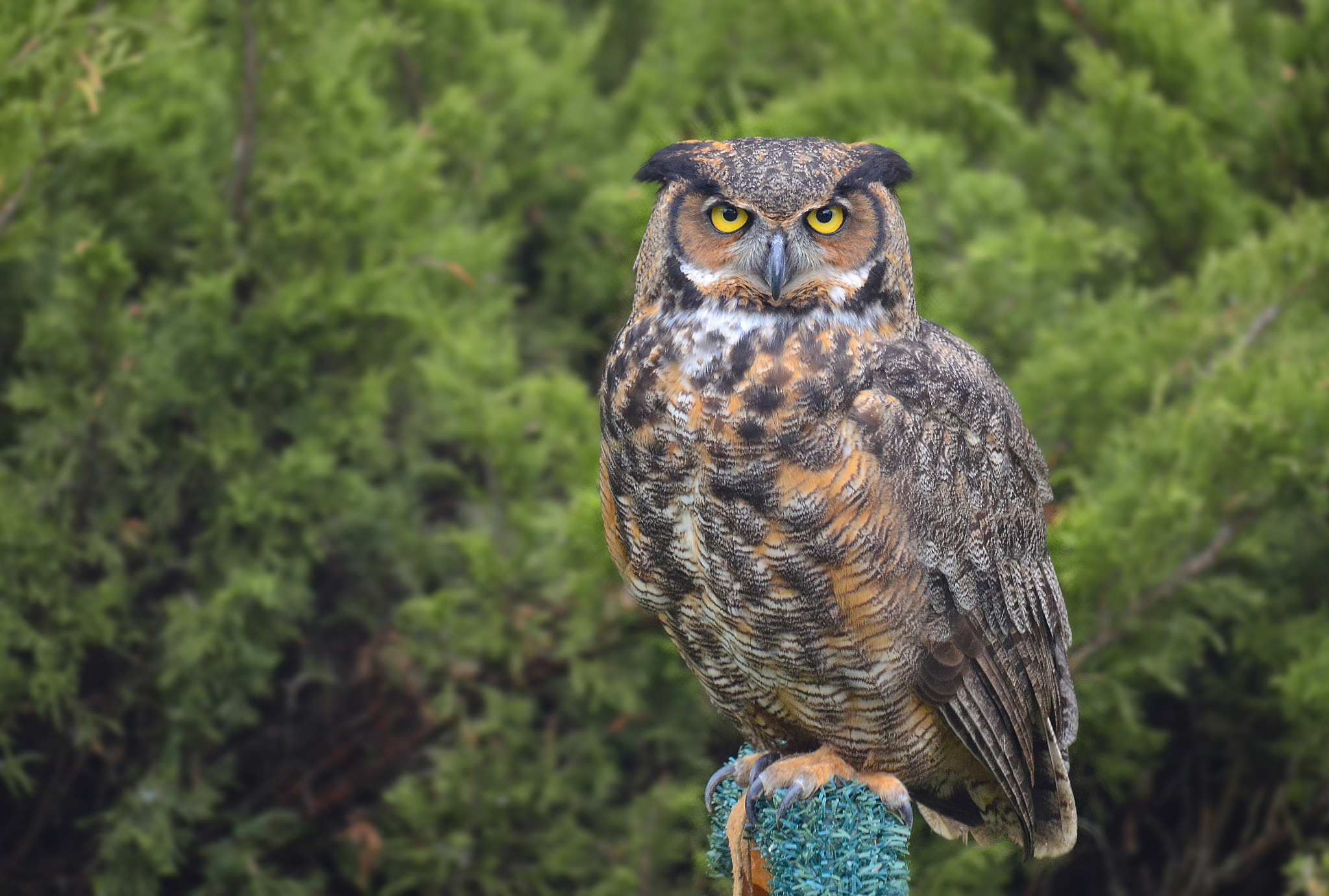 Photograph Great-Horned Owl by Anura Fernando on 500px