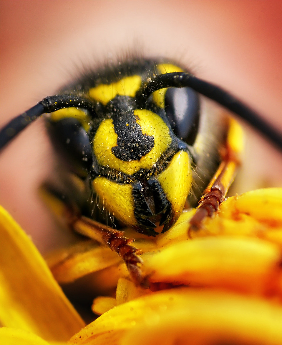 Photograph Wasp by Sasha Levin on 500px
