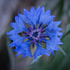 Beautiful little Cornflower