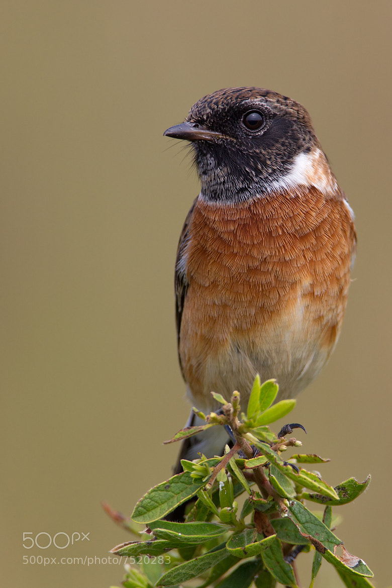 Photograph African Stonechat by Ettienne Van Niekerk on 500px