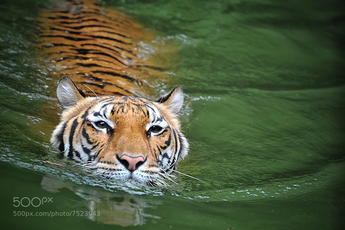 Photograph Malayan Tiger by Jason Matthew Tye on 500px