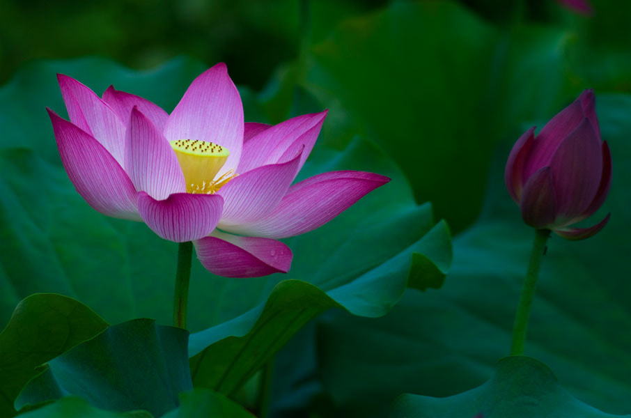 Photograph lotus by Le Huy on 500px