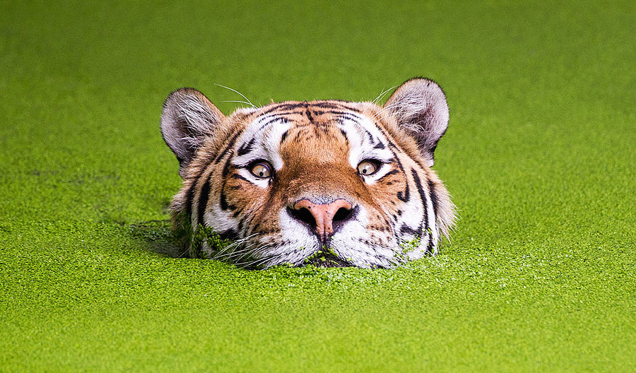 Tiger in the green by Søren Nielsen on 500px.com