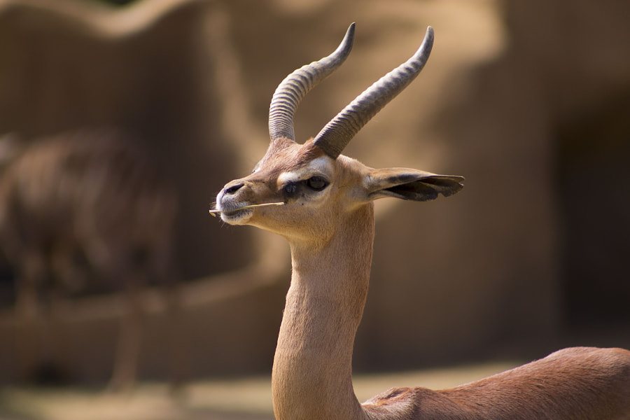 weird animals -Gerenuk by Andrew Butterfield on 500px.com