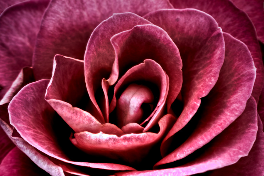 Photograph Pink HDR Rose  by Sheree Richter on 500px