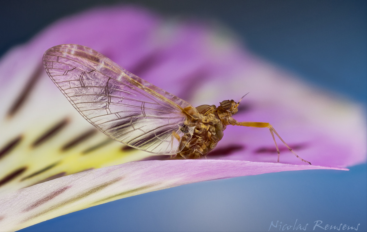 Photograph Delicate Mayfly by Nicolas Reusens on 500px