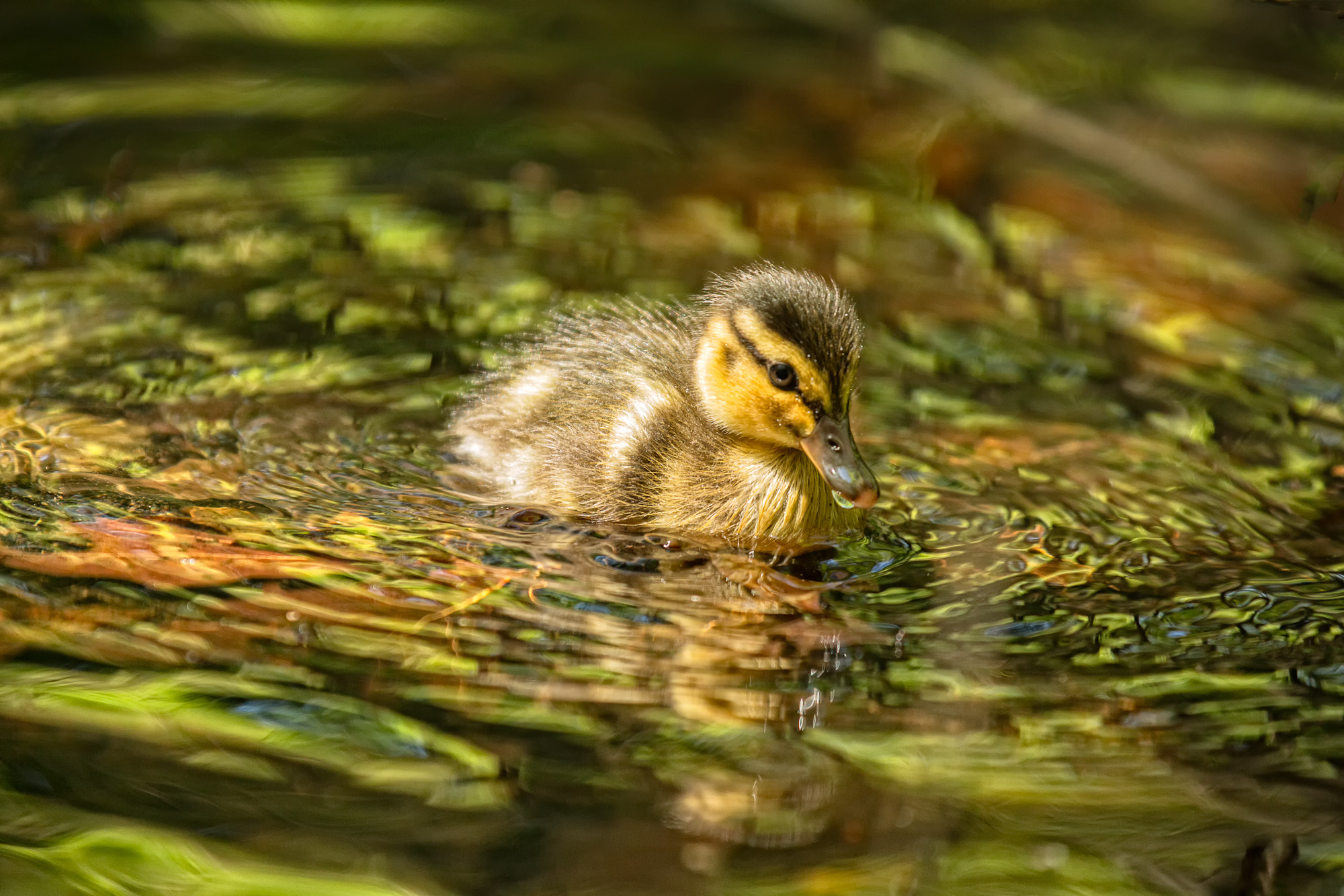 Photograph Duckling by Joseph Calev on 500px