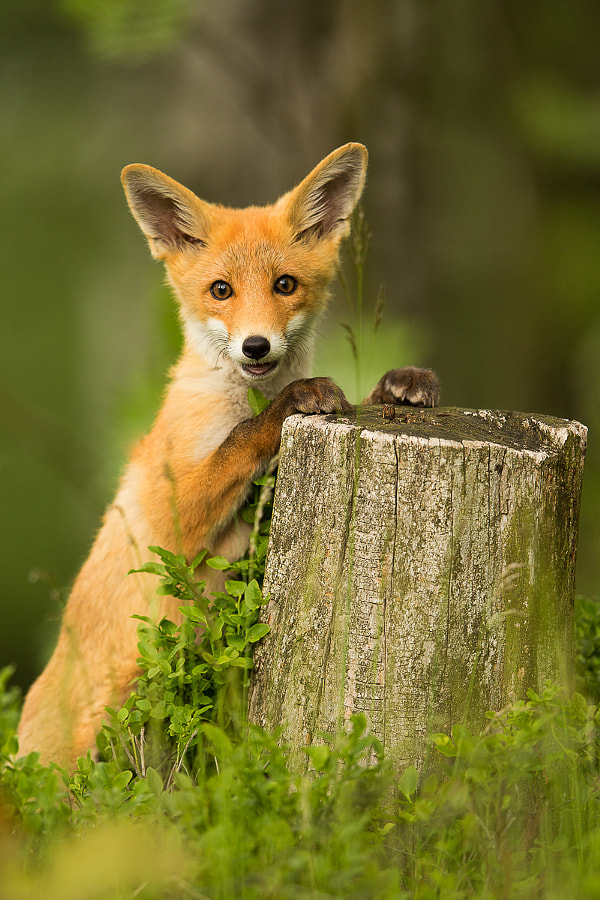 Photograph Fox by Pavel Blažek on 500px