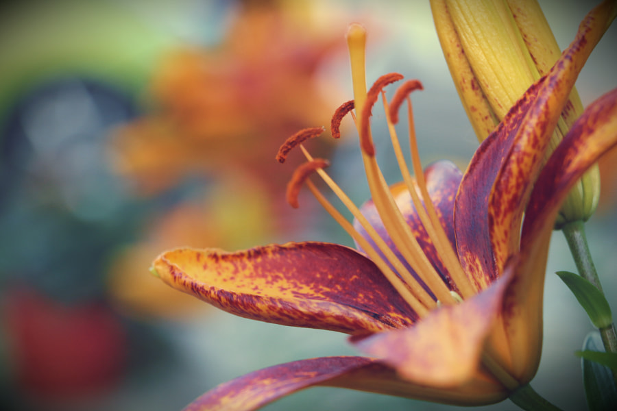 Asiatic Lily by Brian Kippe on 500px.com