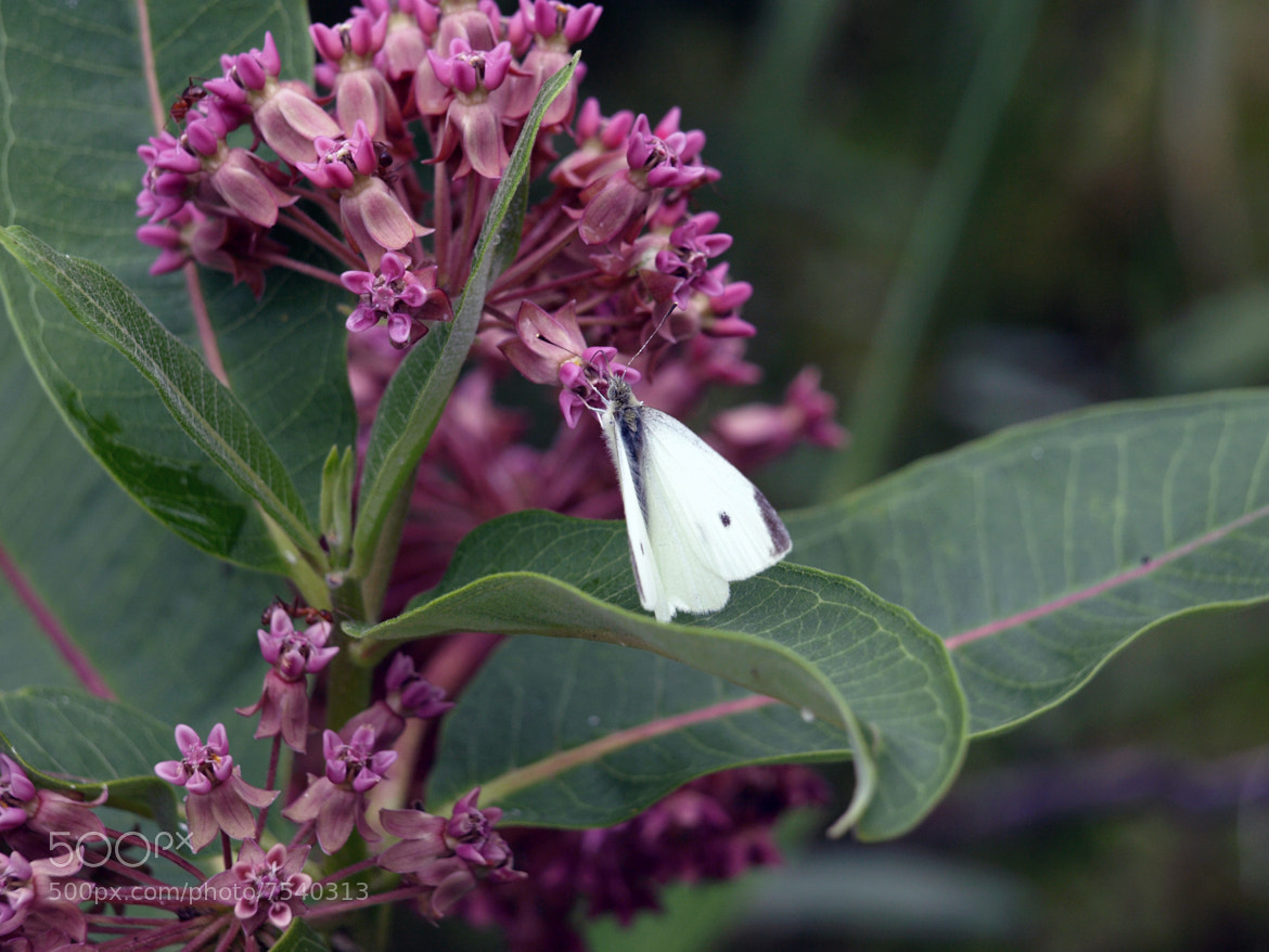 Photograph White Butterfly 2 by Scott McElreath on 500px