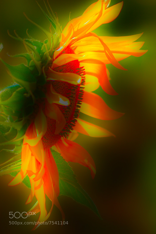 Photograph The divine Sunflower by Giacomo Signorino on 500px