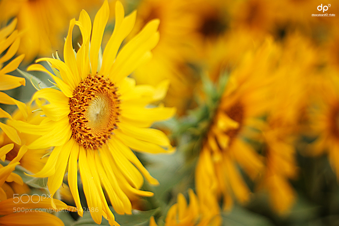 Photograph Sun flower by Wisarut Thammathatto on 500px