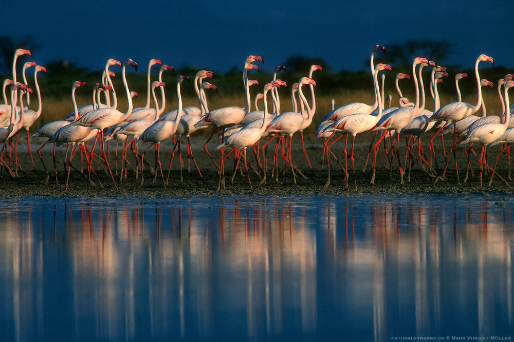 Photograph March Of The Flamingos by Mark Vincent Müller on 500px