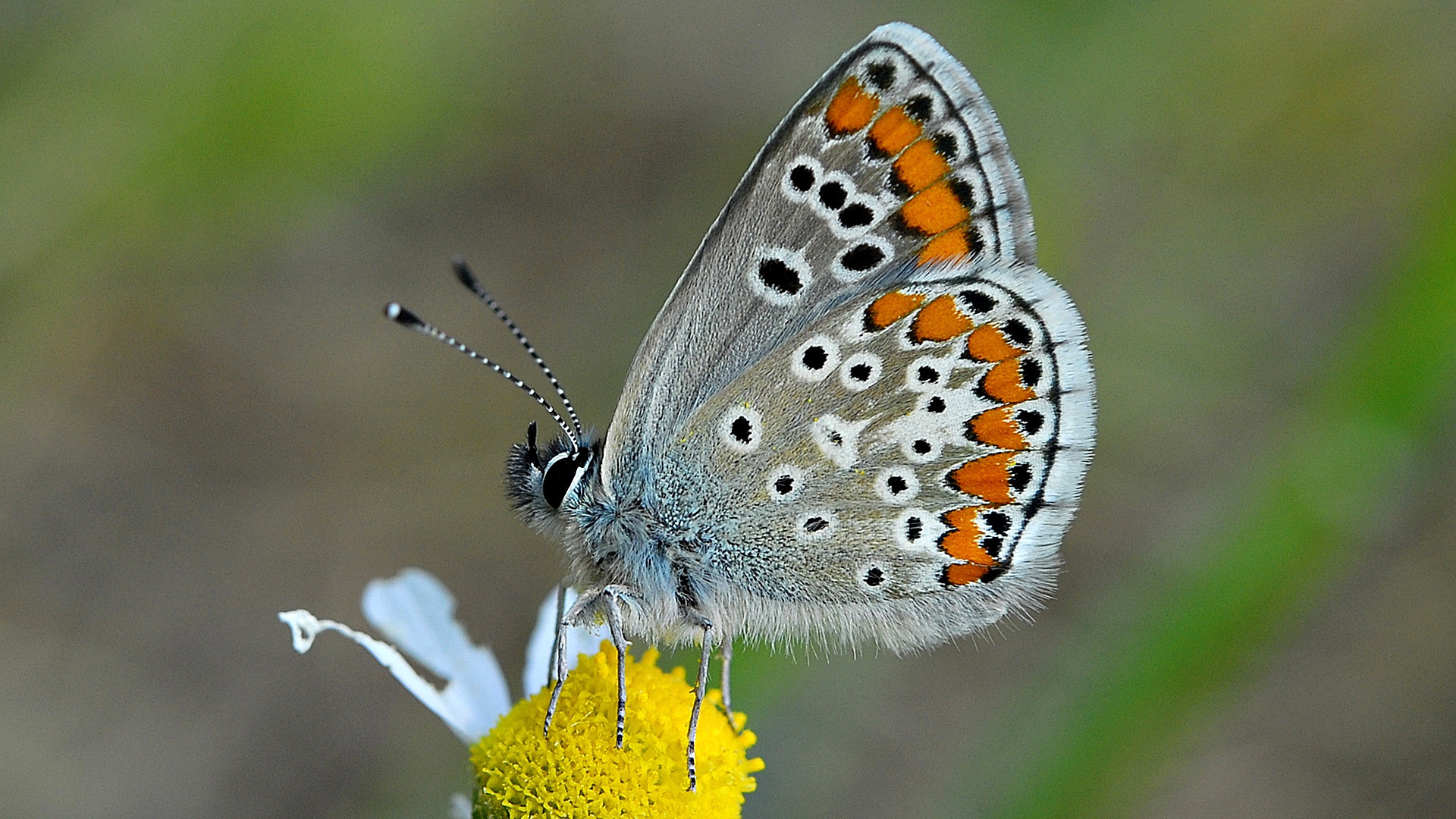 Photograph Polyommatus icarus by ilker kursun on 500px