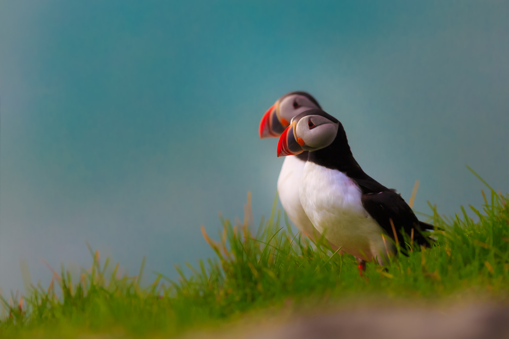 Photograph Two Puffins by Philipp Wedel on 500px