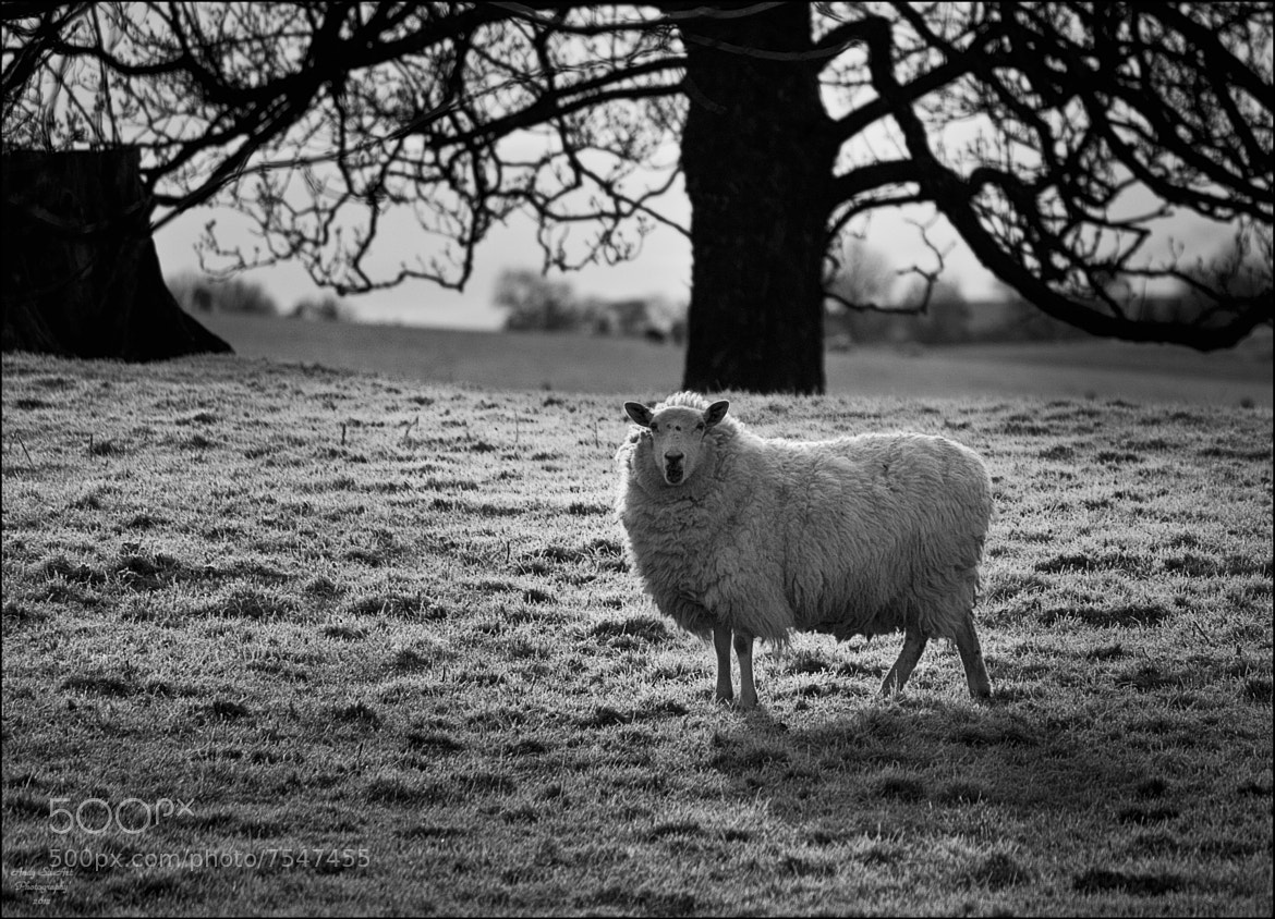 Photograph Ewe by Andy Stuart on 500px