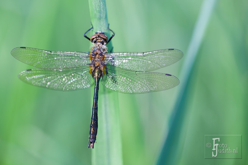 Photograph Downy Emerald (smaragdlibel) by Judith Borremans on 500px