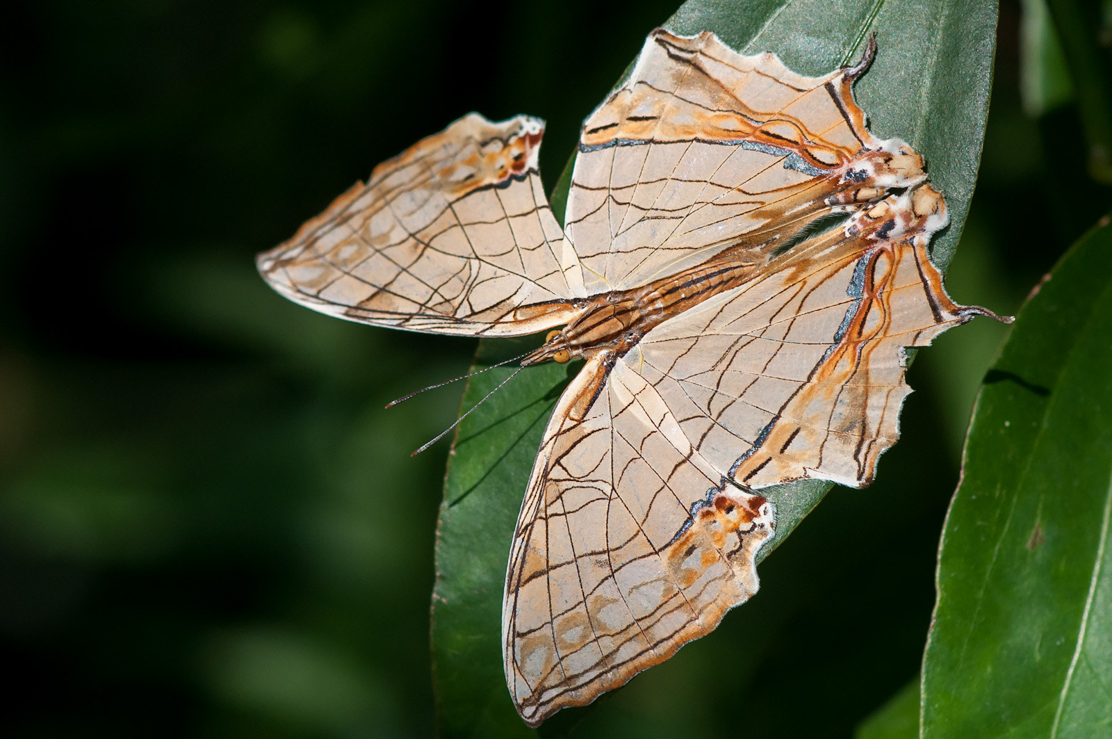 Photograph Common Mapwing by Ken Cheung on 500px