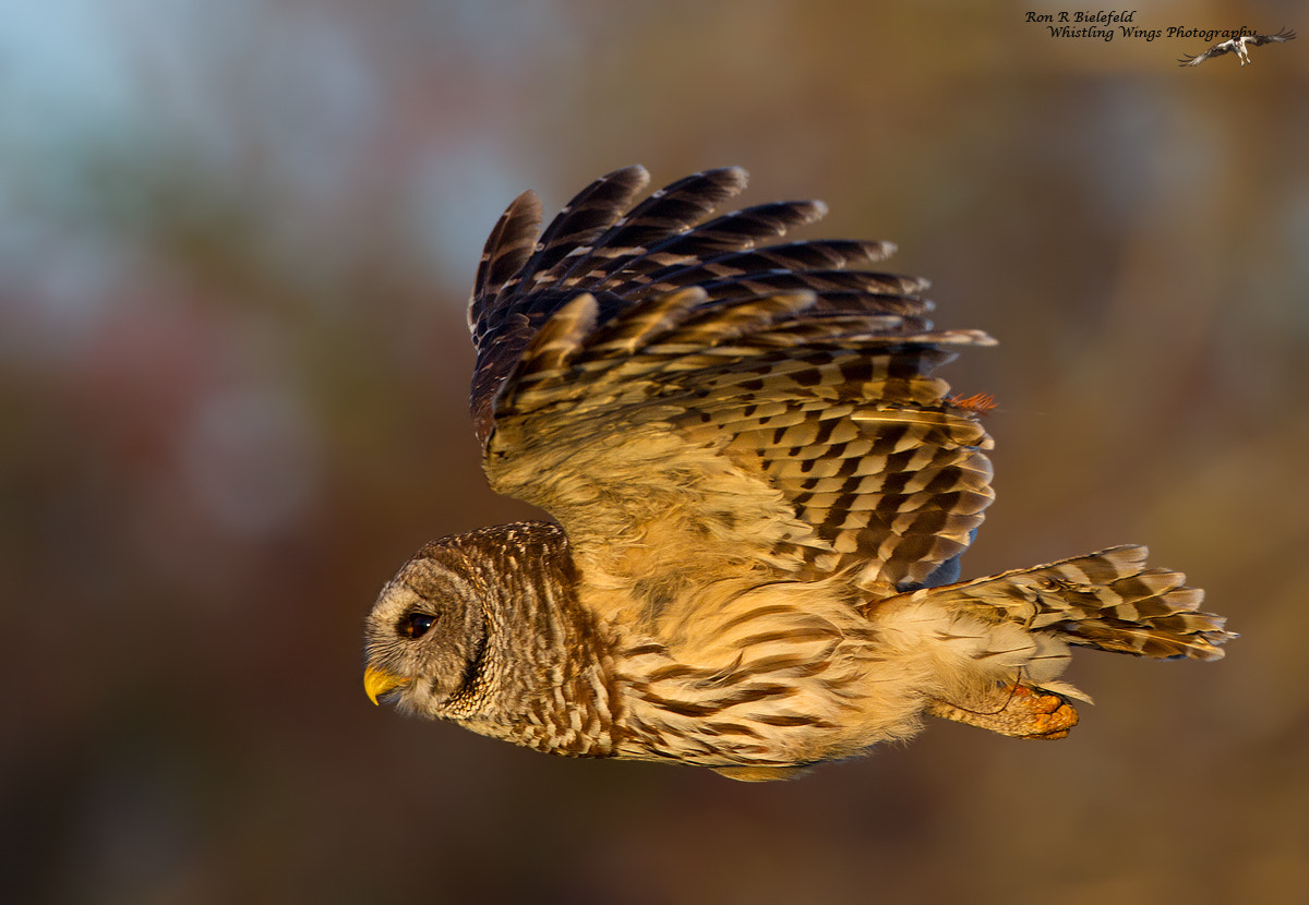 Photograph Good Morning - Barred Owl by Ron Bielefeld on 500px