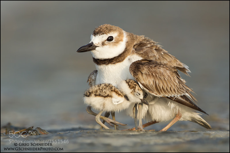 Photograph Wilson's Plover and chicks by Greg Schneider on 500px