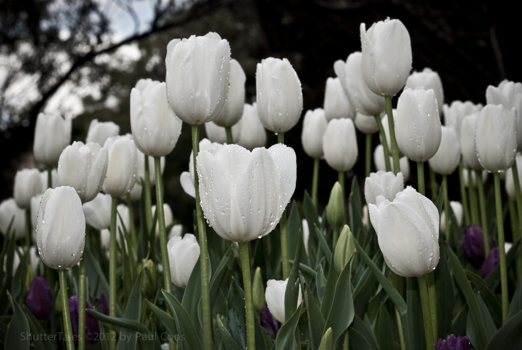 Photograph White Tulips by Paul Cons on 500px