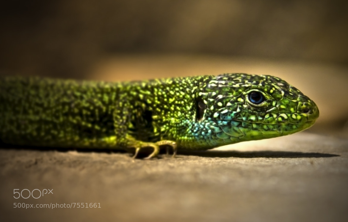 Photograph Lizard by Thomas Halgand on 500px