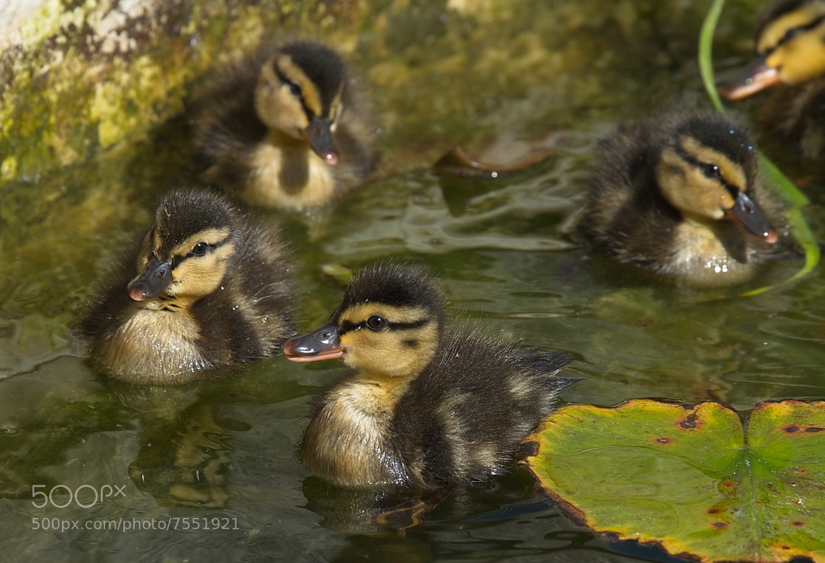 Photograph duck babies by Jutta Kirchner on 500px