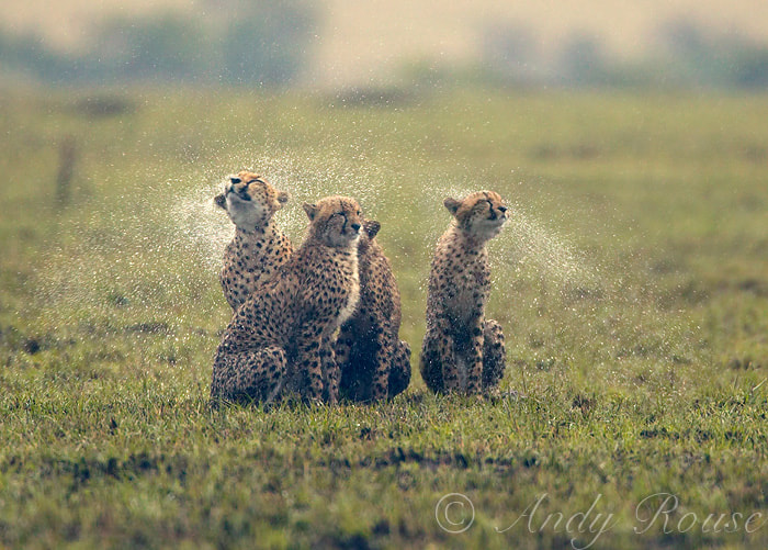 Photograph Cheetahs in rain by Andy Rouse on 500px