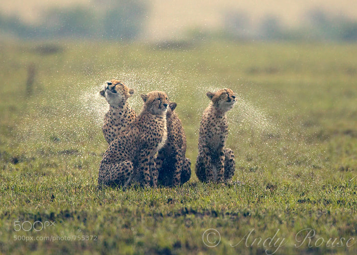 Cheetahs in rain - The Cat Family Inspiring Photography