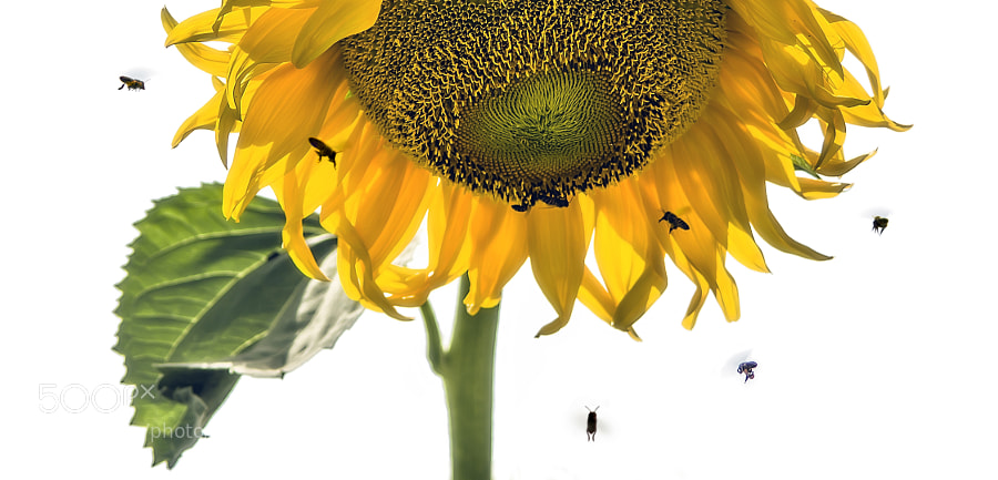 giant sun flower looking down and bees moving to the center to get their food :-)