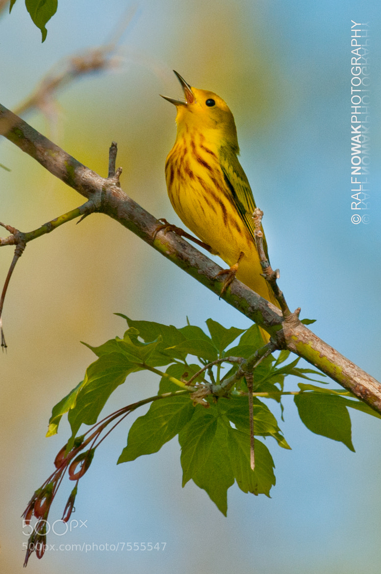 Photograph Yellow Warbler by Ralf Nowak on 500px