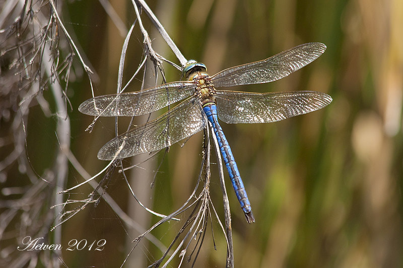 Photograph Anax imperator by Antonio T.V. on 500px
