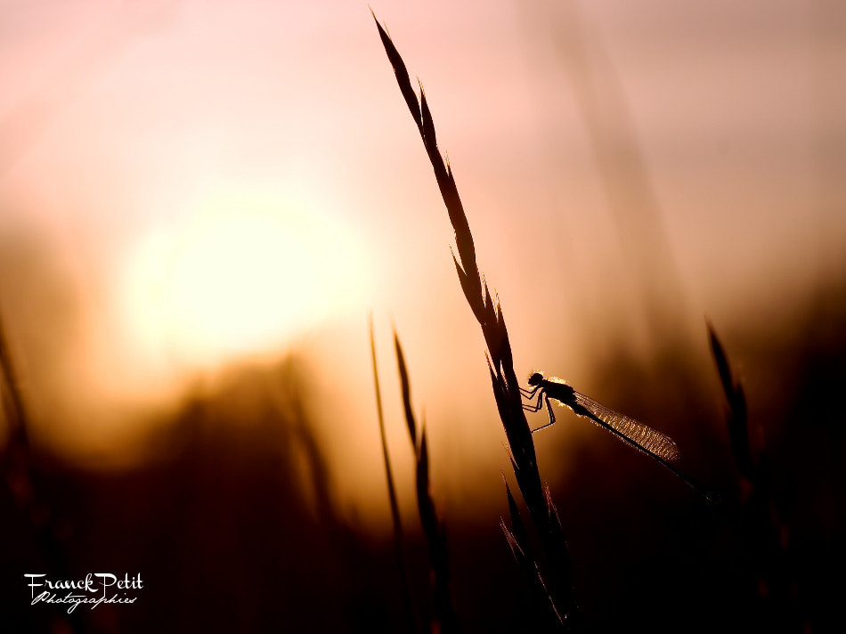 Photograph Agrion by Franck PETIT on 500px